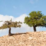 bigstock-Argan-tree-6784355