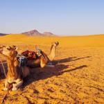 bigstock-Camel-In-Morocco-51378601