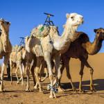 bigstock-Dromedaries-In-Morocco-Desert-51298399